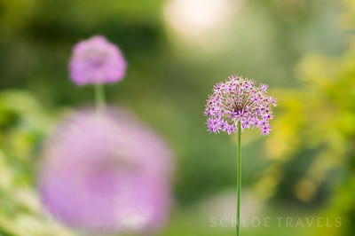 Purple Flowers | Virginia