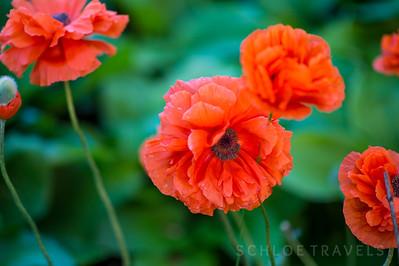 Red Flowers | Virginia