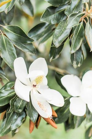 Magnolia Flower | Washington, D.C.