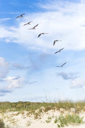 Pelicans Flying | Oak Island, North Carolina
