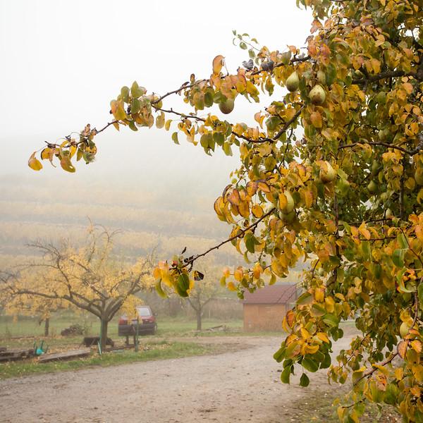 Poirier dans les vignes (Durbach)