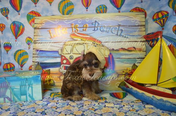 12. Schnauzer Puppies For Sale