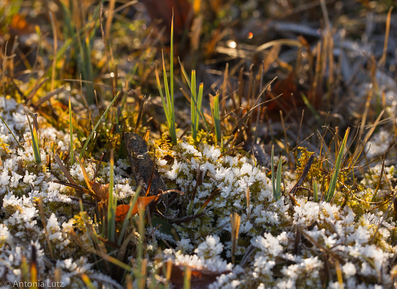 Raureif im Gras