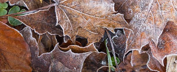 Raureif an Blättern