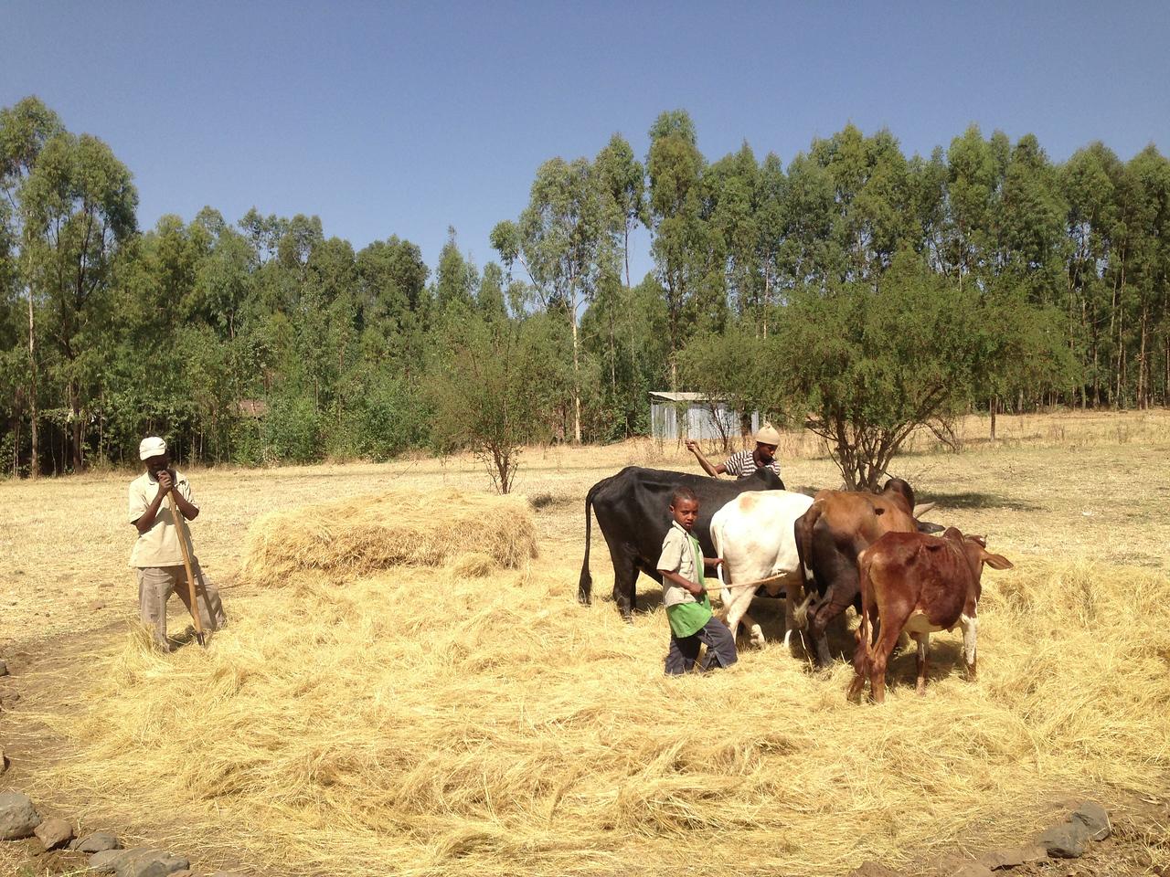Farmers using cattle to thresh teff