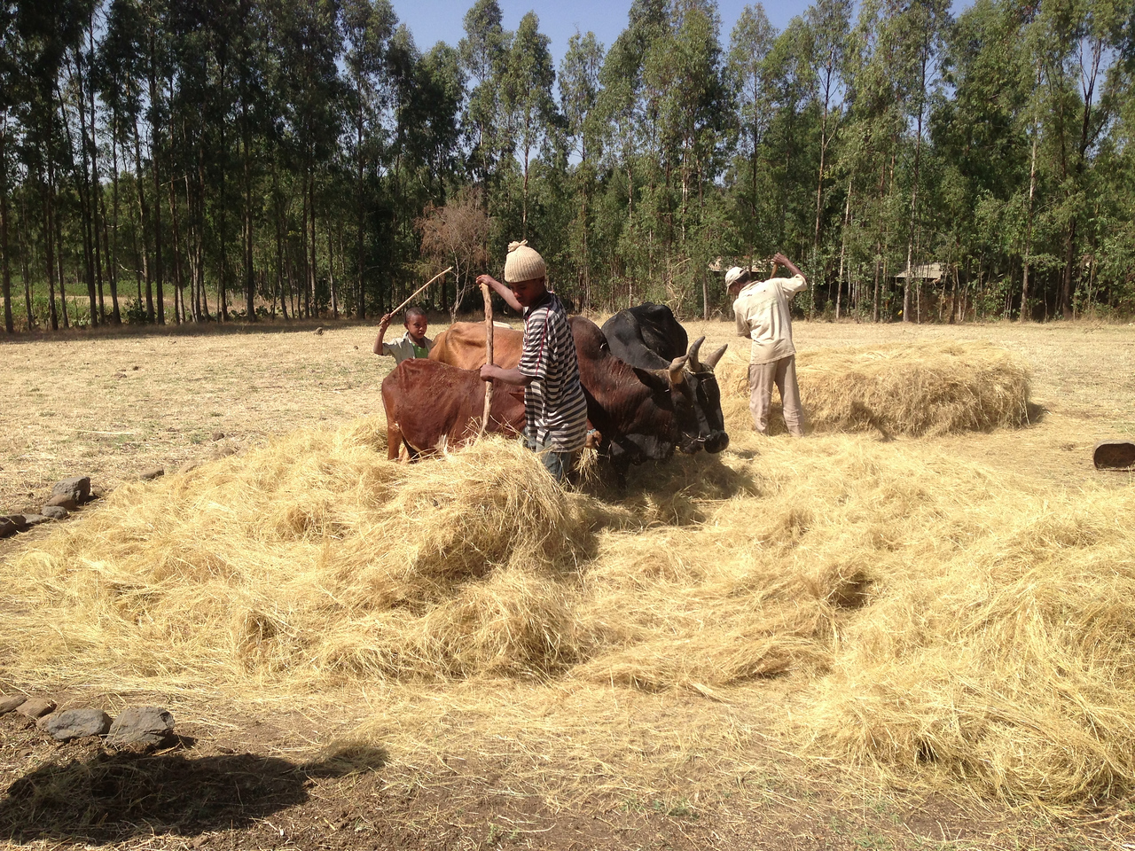 Growing teff is an important source of income for the school