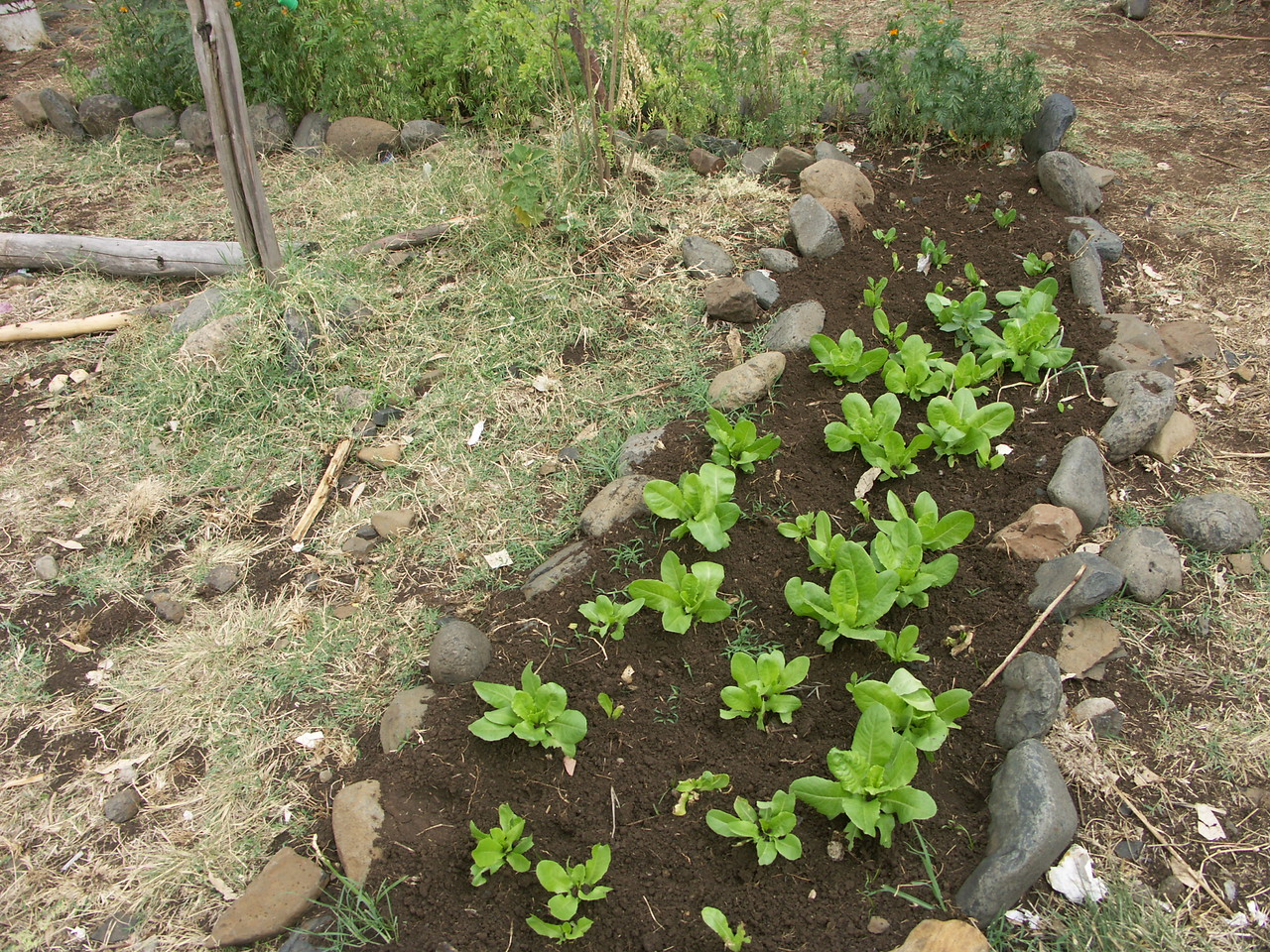 School garden - growing cabbage for generating extra income