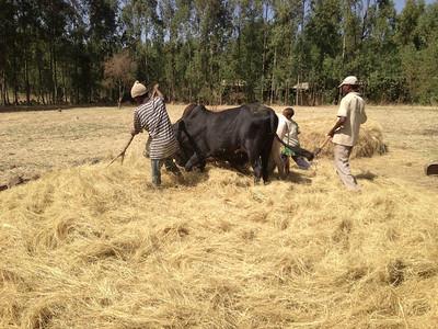 Threshing teff grain, for income generation