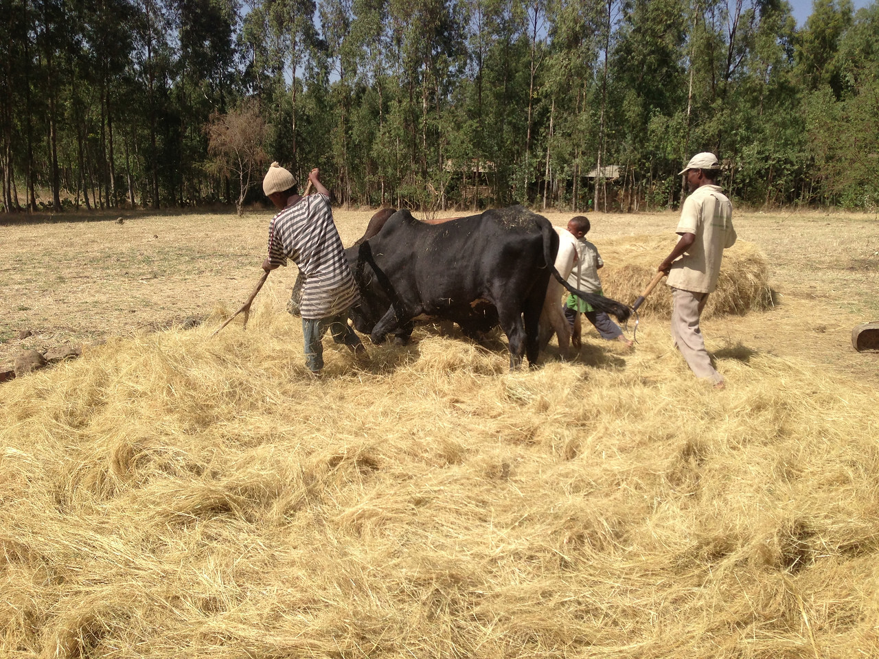 Threshing teff grain, for income generation