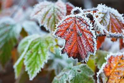 Frozen plants in winter with the hoar-frost