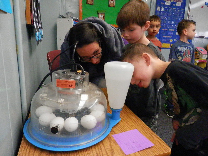 Miss Kat's class watching the chicks go into the incubator.