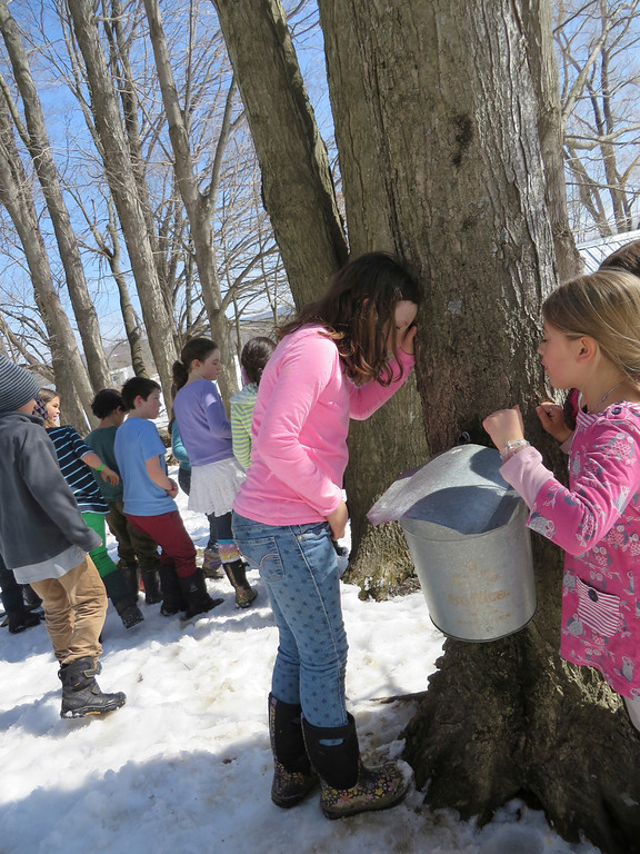 . Third graders peek in a sap collection bucket for sugaring Tuesday at the Great Barrington Rudolf Steiner School. Jenn Smith/ Berkshire Eagle Staff/ photos.berkshireeagle.com Tuesday, March 11, 2013
