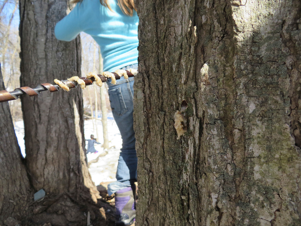 . Sugar maple tree sapwood clings to the grooves of a hand-drill used to tap for sap Tuesday at the Great Barrington Rudolf Steiner School. Jenn Smith/ Berkshire Eagle Staff/ photos.berkshireeagle.com Tuesday, March 11, 2013