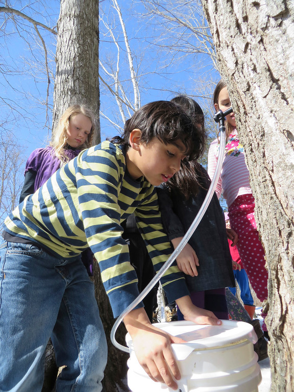 . Third-grader Tex Espinoza-Bergins on Tuesday afternoon caps a bucket being used to collect sugar maple tree sap for maple sugaring at the Great Barrington Rudolf Steiner School.  Jenn Smith/ Berkshire Eagle Staff/ photos.berkshireeagle.com Tuesday, March 11, 2013
