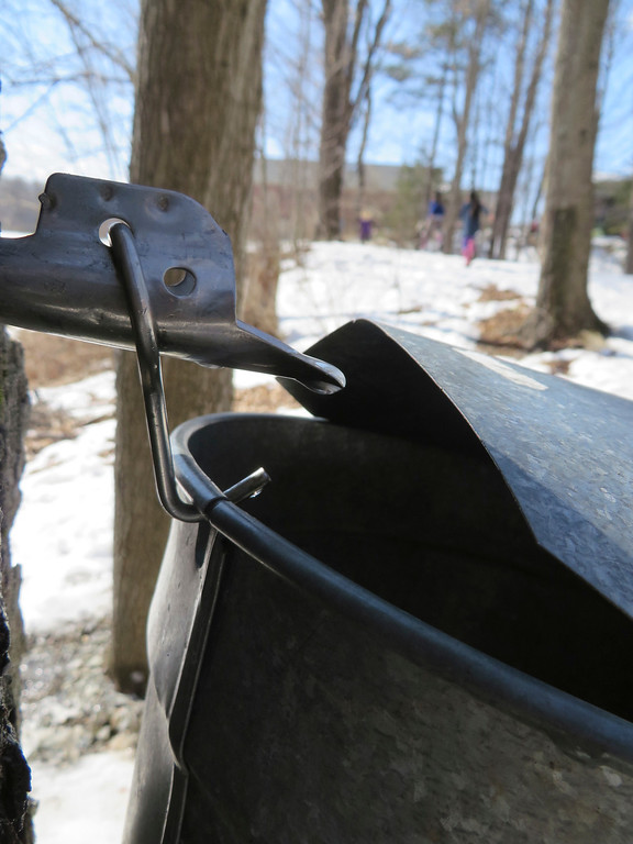 . Sugar maple tree sap drips into a collection bucket set up by kindergarten students at the Great Barrington Rudolf Steiner School. Jenn Smith/ Berkshire Eagle Staff/ photos.berkshireeagle.com Tuesday, March 11, 2013