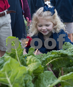 All Saints Episcopal School first grader Lucy Cozad harvests produce from the school's farm Tuesday Oct. 17, 2017. The private school in Tyler has started a Lower School Learning Farm complete with several varieties of salad green and soup green as well as egg laying hens.  (Sarah A. Miller/Tyler Morning Telegraph)