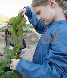 All Saints Episcopal School and first grader Allison Jones, 7, looks at a leaf of bok choy during harvest day at the school's new farming program Tuesday Oct. 17, 2017. The private school in Tyler has started a Lower School Learning Farm complete with several varieties of salad green and soup green as well as egg laying hens.  (Sarah A. Miller/Tyler Morning Telegraph)