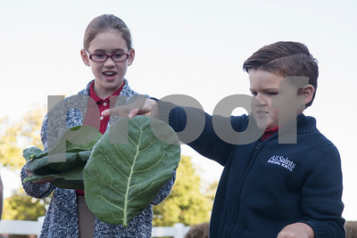 All Saints Episcopal School third grader Clara Wyrick, 9, and first grader Kingston Sinclair, 7, harvest large leaves of collard greens for the school's new farming program Tuesday Oct. 17, 2017. The private school in Tyler has started a Lower School Learning Farm complete with several varieties of salad green and soup green as well as egg laying hens.  (Sarah A. Miller/Tyler Morning Telegraph)