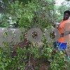 Kingdom Life Academy student Jaquan McKenzie, 17, helps remove large tree branches from the yard of a home on Martin  Luther King Jr. Blvd. in Tyler Saturday morning June 11, 2016. The school has partnered with the City of Tyler to assist in yard work those who cannot do it themselves such as the elderly and disabled. <br /> <br /> (Sarah A. Miller/Tyler Morning Telegraph)