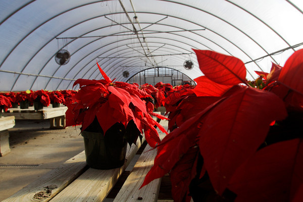 Student grown poinsettias sit in one of the horticulture department greenhouses at the Prosser School of Technology in New Albany on Wednesday afternoon. Staff photo by Christopher Fryer