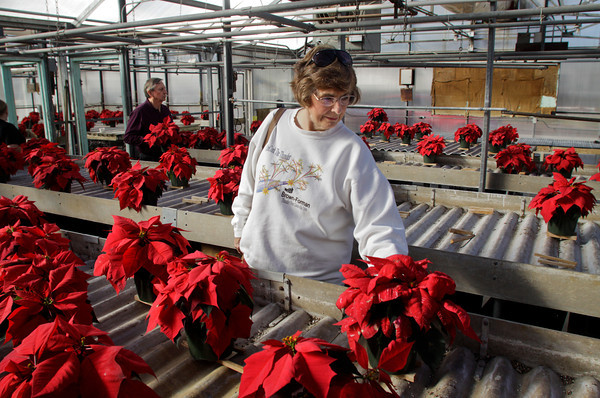 "Mondell Rogers and her husband Phil, left, shop for poinsettias in the horticulture department greenhouses at the Prosser School of Technology in New Albany on Wednesday afternoon. The Rogers have been purchasing the student grown poinsettias for more than 10 years to help decorate their home for the Holidays. ""They are just as pretty as you buy in the store and we're helping kids here,"" said Phil Rogers."