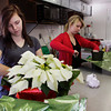 Horticulture students Samantha Crecelius, left, and Ashley Hoeweler sleeve and ribbon poinsettias in the greenhouses at the Prosser School of Technology in New Albany on Wednesday afternoon. Staff photo by Christopher Fryer