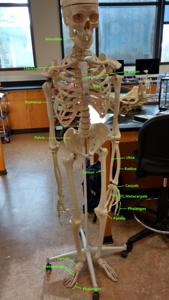 Human skeleton, front