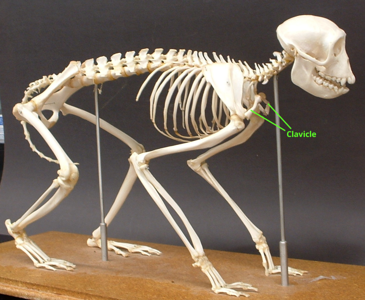 Monkey skeleton w/clavicle labeled