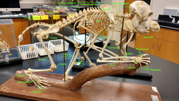 Monkey skeleton