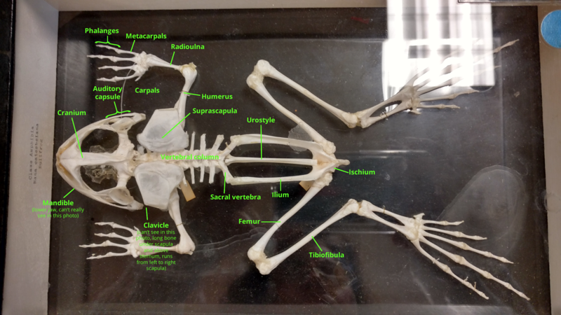 Frog skeleton