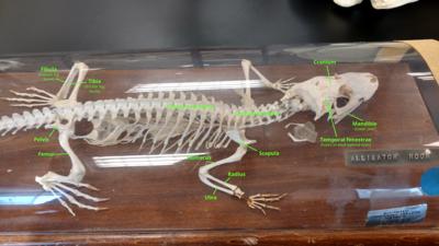 Alligator skeleton