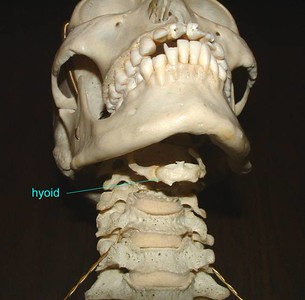 Human hyoid bone