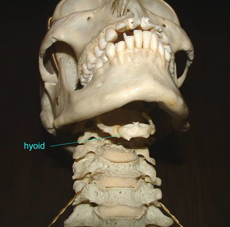 Human hyoid bone