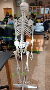 Human skeleton, back