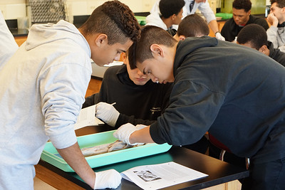 Biology students dissect a dogfish shark.