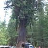 Chandelier Tree - Legget, California -  9/13/2009