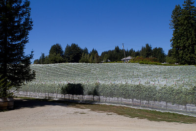 From the winery, you could view the vines all around.