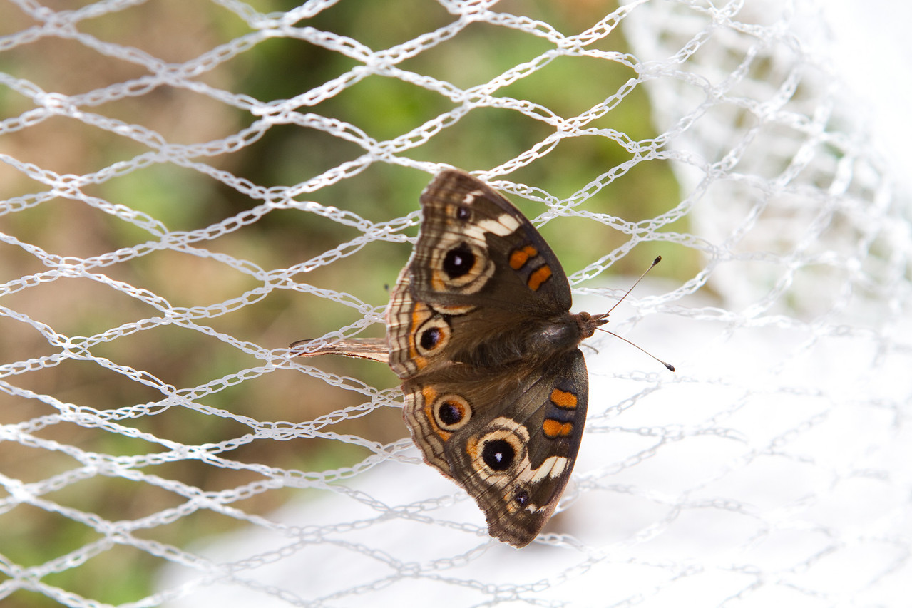 Apparently the vineyard is a romantic setting, as shown by this pair of mating moths.