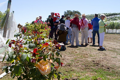 Roses are grown at the end of the rows of vines.  The rose bushes are more sensitive to some plant problems that effect vines, and provide an early warning system.