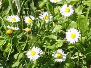 Itty bitty daisies that were hiding.