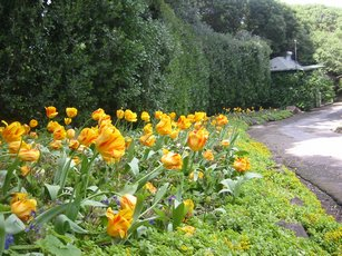 More tulips lining the walk.