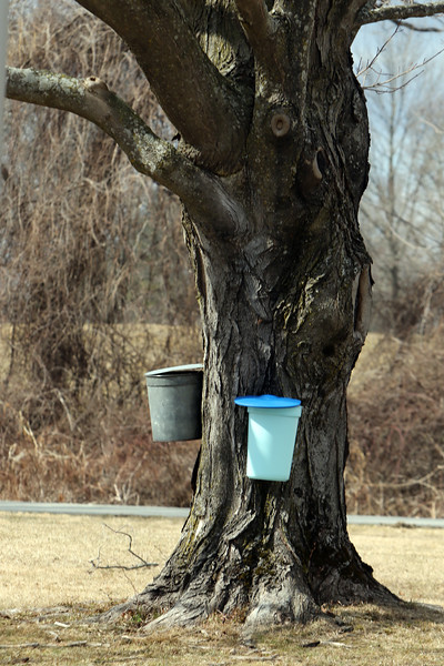 One of the sugar maples Greater Lowell Tech students tap sugar maples to collect sap to make maple syrup, as part of their environmental science class. (SUN/Julia Malakie)