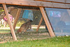 Chicken Coop, Atherton, CA, May 7, 2009