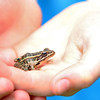 John R. Briggs fifth graders found a frog while working in the schools garden on Wednesday morning in Ashburnham. SENTINEL & ENTERPRISE/JOHN LOVE