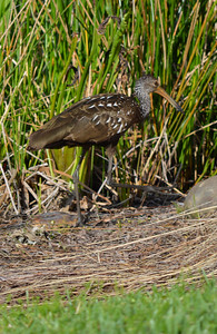 Limpkin on the nature trail at Rosen Shingle Creek Resort