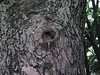 A squirrel in a tree hole
