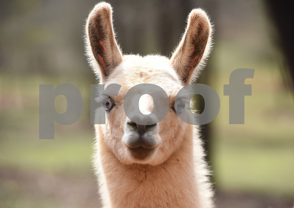 A llama is pictured at the Cherokee Trace Drive-Thru Safari in Jacksonville Wednesday March 8, 2017. The safari is open from 10 a.m. to 6 p.m. The last car is admitted at 4 p.m. as the tour takes an hour and a half to two hours to complete.  (Sarah A. Miller/Tyler Morning Telegraph)