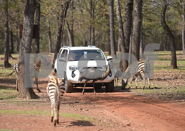 Visitors stop to get an up close view of several zebras and an emu at the Cherokee Trace Drive-Thru Safari in Jacksonville Wednesday March 8, 2017. The safari is open from 10 a.m. to 6 p.m. The last car is admitted at 4 p.m. as the tour takes an hour and a half to two hours to complete.  (Sarah A. Miller/Tyler Morning Telegraph)