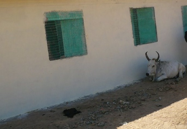 Even the cattle are taking advantage of Wunlang School.