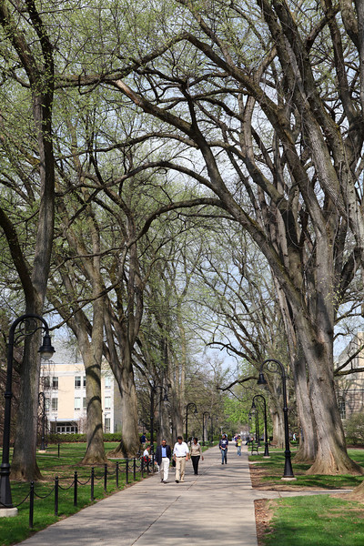 Elm trees lining the walkway along Old Main Lawn, Penn State University.